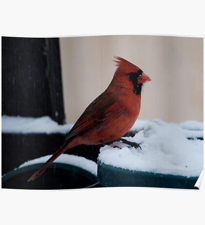 Cardinal Awaits Poster