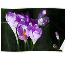 Shaded Crocuses Poster