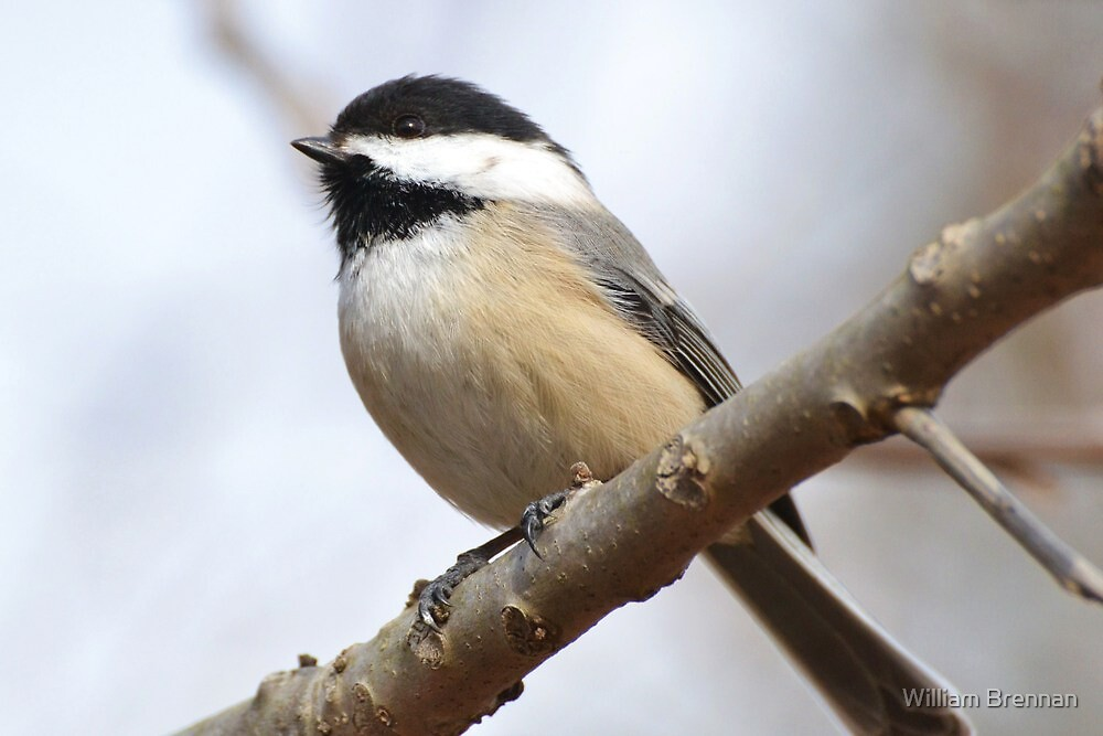 Hello My Little Chickadee by William Brennan
