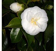 White Camellia Photographic Print