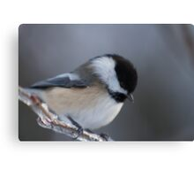 Chickadee, up close and personal Canvas Print