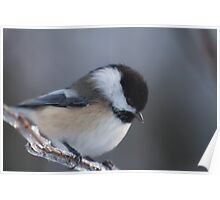 Chickadee, up close and personal Poster