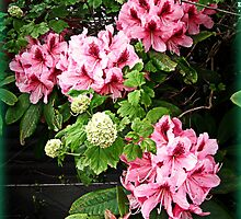 Rhododendron Tour Two by Alice Schuerman