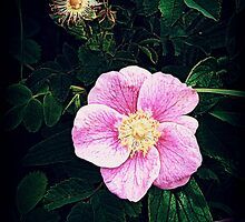 BackRoad Wild Rose by Alice Schuerman