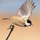 Coal tit ~ in flight by Margaret S Sweeny