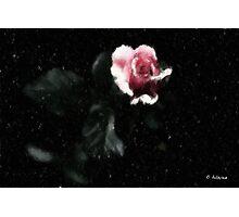 Pink Winter Rose Photographic Print