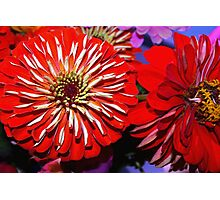 Red zinnias Photographic Print