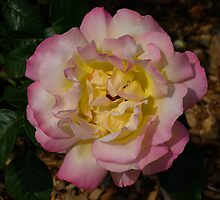 Multi-coloured Rose by Geoffrey Higges