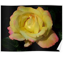 Deep Yellow Rose Poster