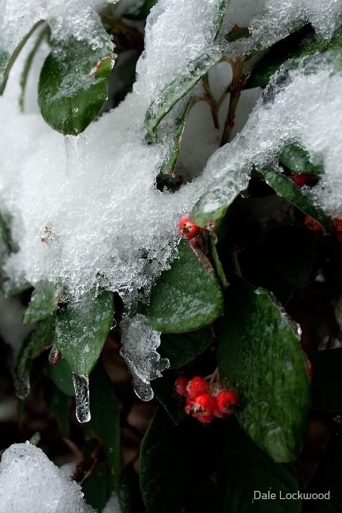 Firethorn Deep Freeze by Dale Lockwood