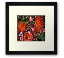 Orange Gum Flowers Framed Print
