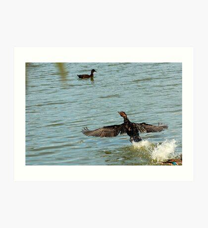 Old Great Cormorant splashing down Art Print
