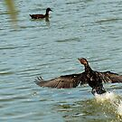 Old Great Cormorant splashing down by Kenneth Caleno