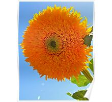 Sunshine in a flower.... Poster
