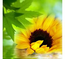 A Sunflower in Shade Photographic Print