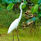 Greater Egret - Frog Dam, Northern Territory by Karen Stackpole