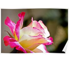 Beautiful yellow rose with pink splashes of colour Poster