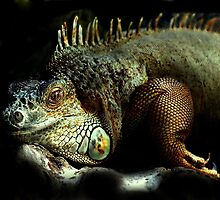 Resting Iguana by Alan Mattison