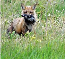 Red Fox - A Six Mouse Meal for the Pups! by gunsandroses