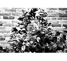 Kissed by a Rose Photographic Print