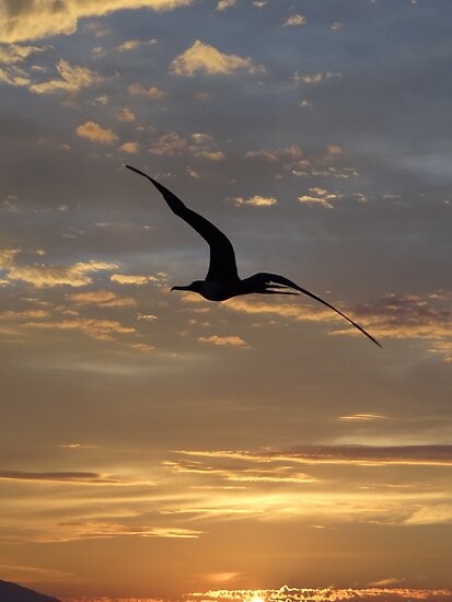 Flying Frigate Bird - Fregata Volando by Bernhard Matejka