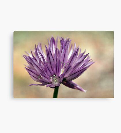 Plant, Herb, Chives, Allium schoenprasum, Flower Canvas Print