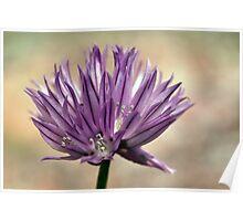 Plant, Herb, Chives, Allium schoenprasum, Flower Poster