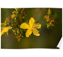 Plant, St Johns Wort, Hypericum perforatum, Flowers.  Poster