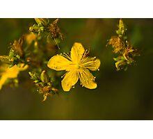 Plant, St Johns Wort, Hypericum perforatum, Flowers.  Photographic Print