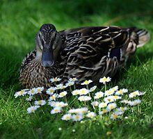 Duck by Pete  Burton