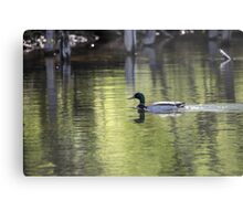 Duck Water Scene Metal Print
