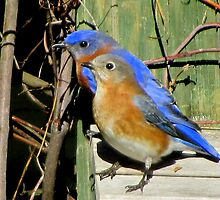 A pair of bluebirds by Samohsong