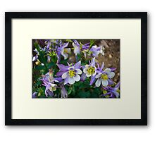 Purple and blue columbine Framed Print