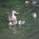 Duck with Ducklings by Thomas Murphy