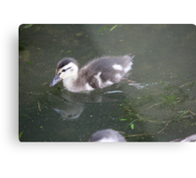 Ducklings on Lake Monona Metal Print