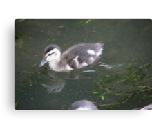 Ducklings on Lake Monona Canvas Print