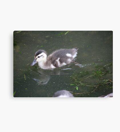 Ducklings on Lake Monona Canvas Print