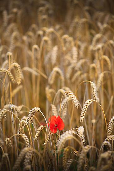poppy in cornfield by Dave Milnes