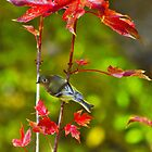 Blue-Headed Vireo In The Autumn Blaze Maple Tree by Diana Graves Photography