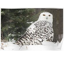 Snow Owl for Roy Poster
