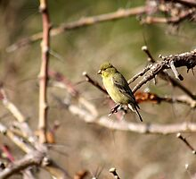 Small bird in branch  by Vaillettephoto