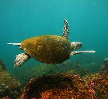 Cook Island Turtle by Paul Macklin