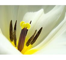 White Tulip Flower art print giclee Tulips Floral Photographic Print