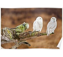 Snowy Owls Poster