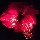 Hibiscus Flower by CeciliaMay