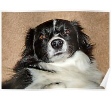 Max the Welsh Collie Poster