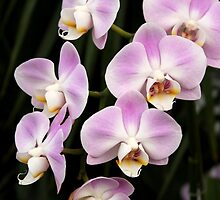 Lilac and White Phalaenoposis Orchids by tdash
