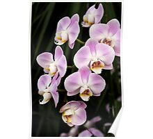Lilac and White Phalaenoposis Orchids Poster