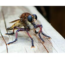 Robber Fly (Asilidae) Photographic Print