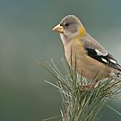 Evening Grosbeak On Pine 3 by Michael Cummings